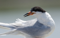 Forster's Tern_Byron Chin