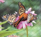butterfly fest