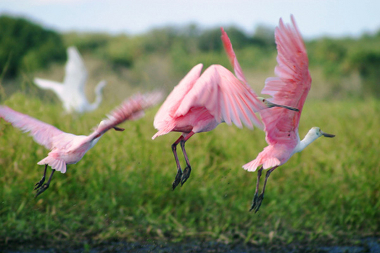 Spoonbills fly over the water at Myakka River State Park.