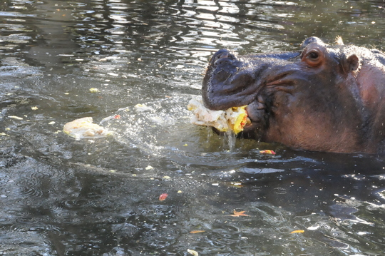 Lu the hippo enjoys his birthday cake.
