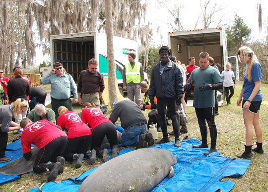 Manatee Krystal getting ready to return back to the wild.