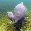 Manatee and baby