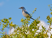 Scrub Jay in the tree tops