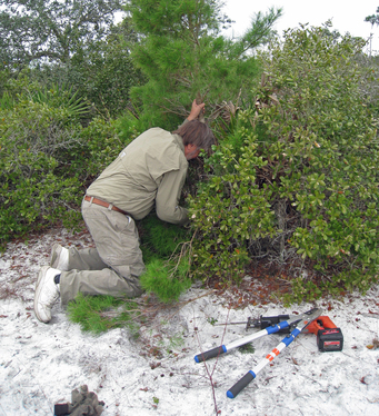 A Ridge Ranger cuts down an intruding pine