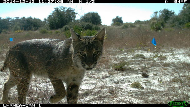 Bobcat caught by a trail cam in the restoration area