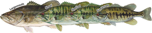 Black bass species