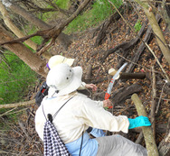 Ridge Rangers cut down invasive chinese tallow tree