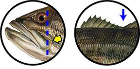 Largemouth Bass identification