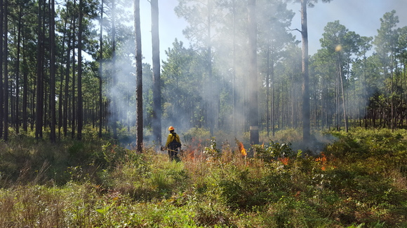 Prescribed fire conducted in the Ocala National Forest with assistance by the team to improve habitat for Species of Greatest Conservation Need