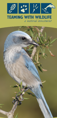 The cover of Florida's Teaming With Wildlife Brochure, Florida Scrub-Jay