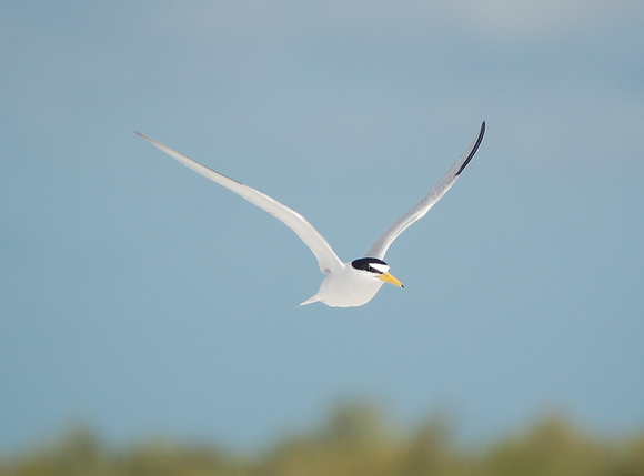 Photo of an adult least tern in flight