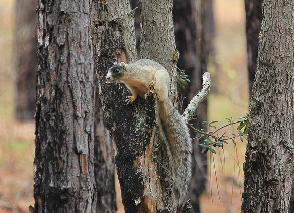 Photo of a Sherman's fox squirrel