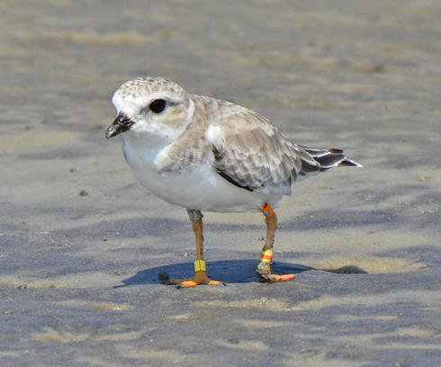 Injured Piping Plover by Pat Leary