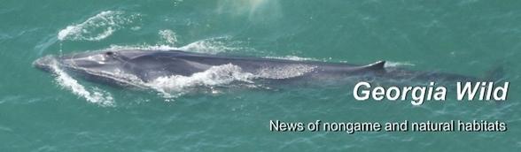 DNR Georgia Wild newsletter masthead: Fin whale