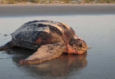 Image: Leatherback sea turtle