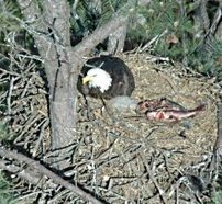 Image: Bald eagle on nest