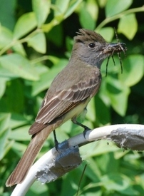 Image: great crested flycatcher