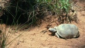 Image: gopher tortoise