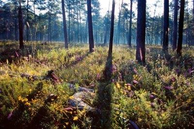 Image: Longleaf pine forest