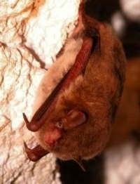 Image: Indiana bat