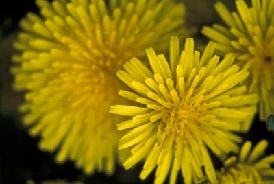 Image: Dandelions