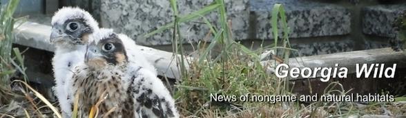 Ga. Wild masthead: young peregrine falcons