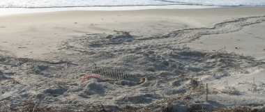 Leatherback sea turtle nest