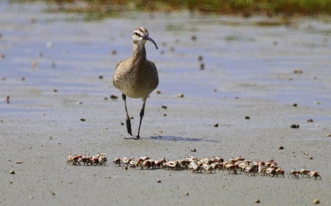 Whimbrel and fiddler crabs