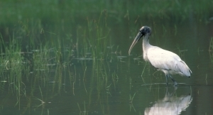 Wood stork in wetland