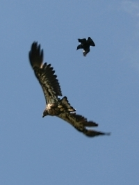 Eagle pounced on by crow.