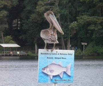 Pelican at Norris Lake