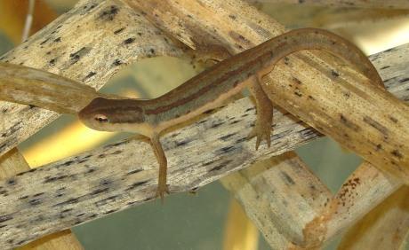 Striped newt