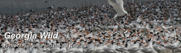 Ga. Wild masthead: royal tern colony