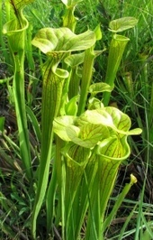 Yellow pitcherplants