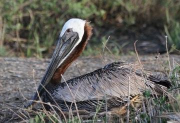 Nesting brown pelican