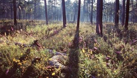 Longleaf pine forest. Marc Del Santro