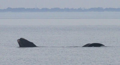 Juvenile right whale off Sea Island.