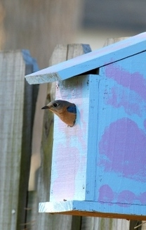 Bluebird and painted box.