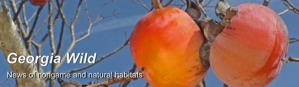 Georgia Wild masthead: persimmons image/Alan Cressler