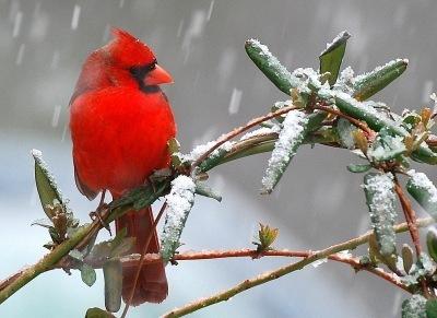 Male cardinal on honeysuckle