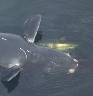 Shark scavenging dead whale