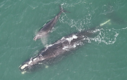 "Right whale ""Equator"" with 1st calf"