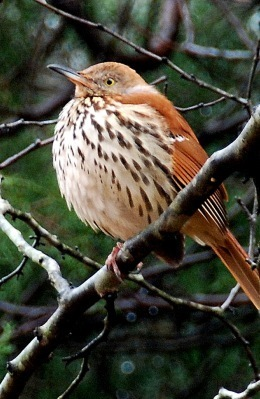 Brown thrasher with feathers fluffed.