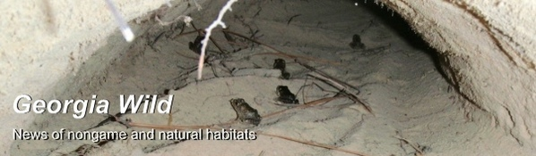 Gopher frog metamorphs in burrow