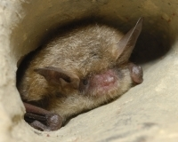 Northern long-eared bat. Pete Pattavina/USFWS