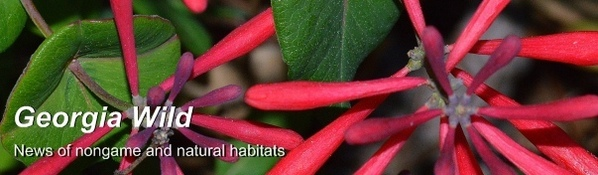 Coral honeysuckle: Ga. Wild newsletter