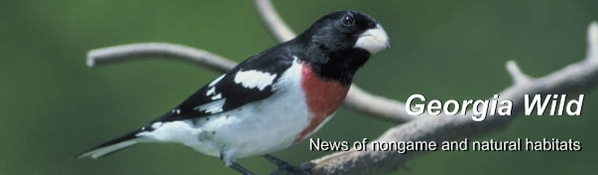 Ga. Wild masthead: rose-breasted grosbeak