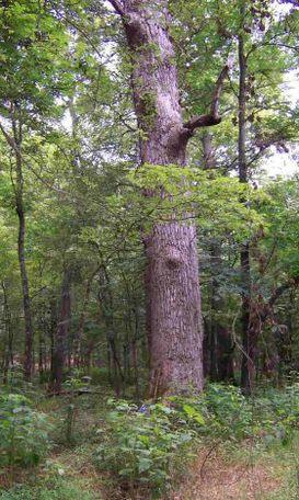 Tallassee Poplar