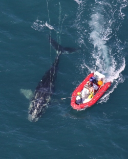 Disentangling a right whale