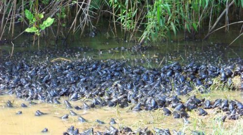 River frogs emerging